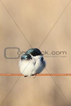 cute tree swallow