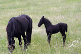 Mare With Black Colt On Pasture