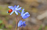 Ladybug sitting on a spring flower