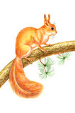 Drawing squirrel