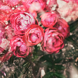 Pink roses in ground. Retro vintage hipster filter effect