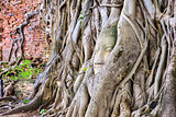 Buddha Head in Banyan Trees