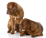 two dogue de bordeaux puppies