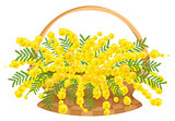 Wicker basket with flowers mimosa