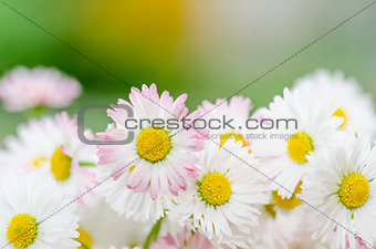 Bouquet of small delicate daisy, close-up