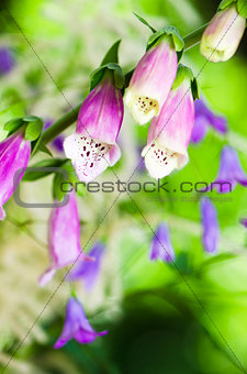 Beautiful flowers purple Foxglove