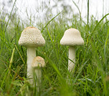 Australia Three Parasol Mushrooms in Long Green grass