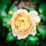 Single Rose Flower