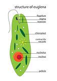 vector euglena structure