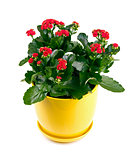 kalanchoe flower with red blossoms isolated on white