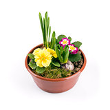flowerpot with spring flowers isolated on white background