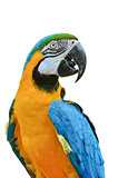 Blue and Gold Macaw colorful birds isolated on white