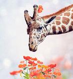 Giraffe Portrait and Flowers