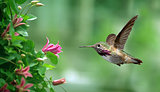 Anna's Hummingbird in the garden panoramic view
