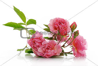 branch of pink climbing rose