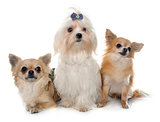 chihuahuas and maltese dog