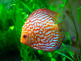 red discus fish