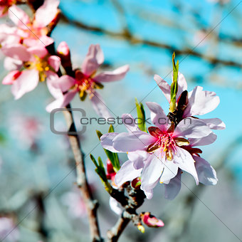 almond tree in full bloom