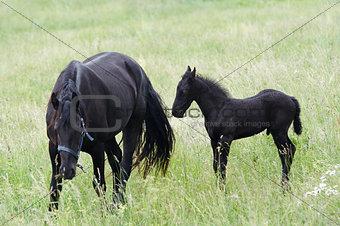 Black Mare With Black Colt