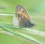 Common Ringlet, Coenonympha tullia, butterfly in the Meadow