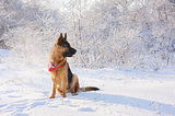 German Shepherd in winter