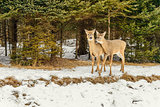 Deers in the winter (Omega Park of Quebec)