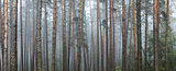 Pine forest. Beautiful panorama.