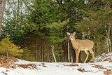 Young Deer (Omega Park of Quebec)