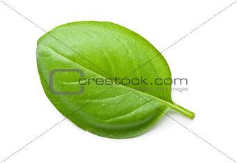 green basil leaf