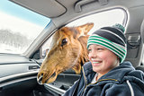 Deer looking for food in a car (Omega Park of Quebec)