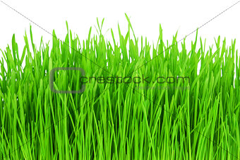 Green grass isolated on white background.