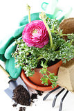 Gardening concept - buttercup flower in a pot and garden tools