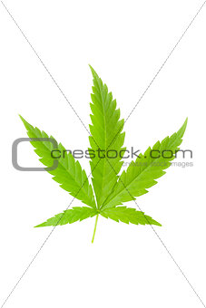 Cannabis leaf isolated.