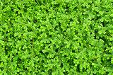 Selaginella kraussiana green small plant