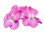 Pink Geranium ( Palargonium x hortorum ) flowers isolated on whi