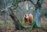 Brown cow framed by old tree trunks
