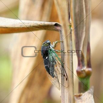 cicada on corn stalk