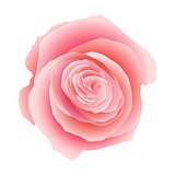 Pink rose isolated. EPS 10