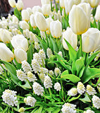 white tulips and muscari