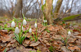 Snowdrops growing on a forest