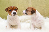 Two puppy jack russell terrier