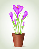 Violet crocus in flower pot