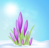 Violet crocus in snow