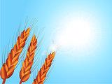 Wheat closeup on sunny blue sky