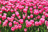 Beautiful bouquet of pink Tulips field