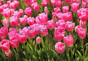 Beautiful bouquet of pink Tulips field