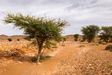 acacia tree in the Sahara desert