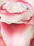 Pink rose macro. EPS 10