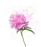 Peony Flower Watercolor