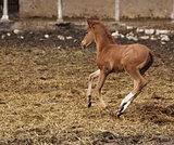 brown foal